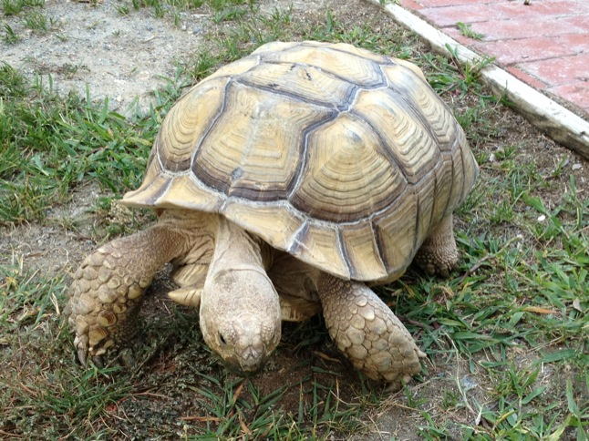 A tortoise named Sue