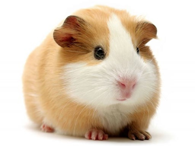 March is 'Rescued Guinea Pig Month' and more!