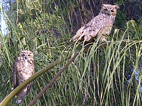 Out and About in Canyon Lake: Owl convention