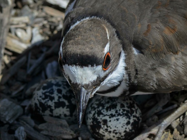 Kildeer distracts with 'broken-wing display'