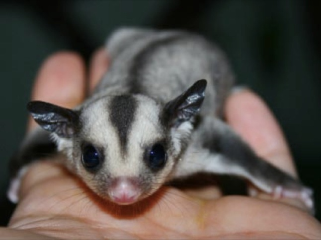 All About Pets: Sugar gliders can be soft, cuddly pets