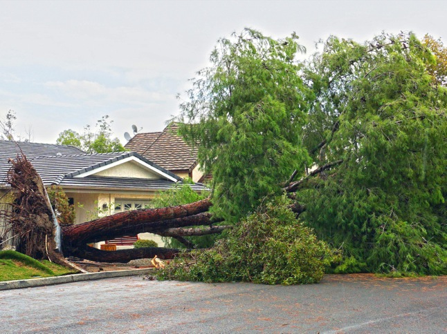 Trees down: blame drought or El Niño?