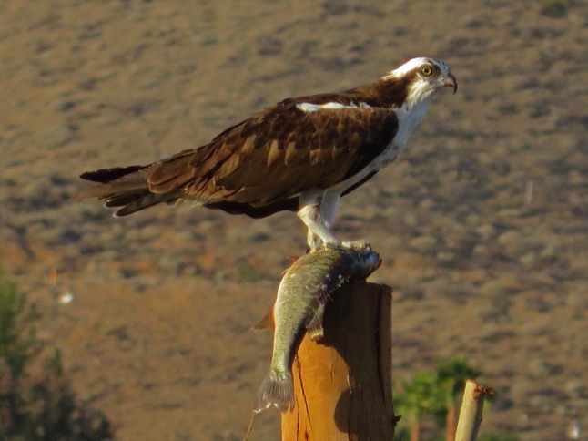 Osprey is no friend of fish